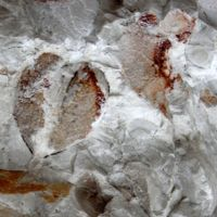Impronte di Megalodon