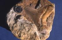 Carcharocles chubutensis, Miocene, Marna di Bolago, Colle di Cart (Feltre).JPG